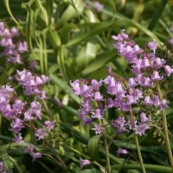 Hyacinthoides non-scripta...