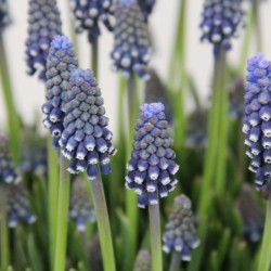 Muscari 'Night Eyes'