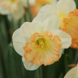 Narcissus 'Romy'