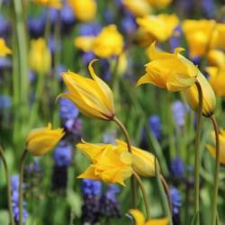 Tulipa sylvestris met...
