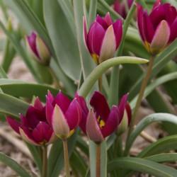 Tulipa humilis 'Persian Pearl'