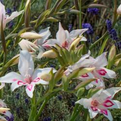 Gladiolus nanus 'Nymph'