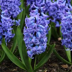 Hyacinthus 'Blue Tango'