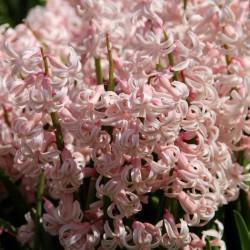 Hyacinthus 'Pink Festival'