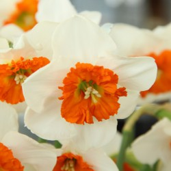 Narcissus 'Bella Vista'