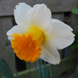 Narcissus 'Orange Sunset'