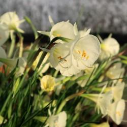 Narcissus bulbocodium...