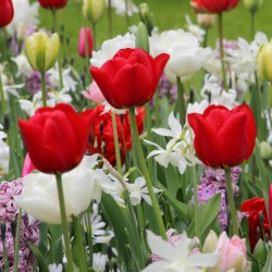 Tulipa 'Ben van Zanten'