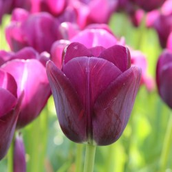 Tulipa 'Negrita'