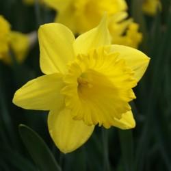 Narcissus 'Dutch Master' 12/14