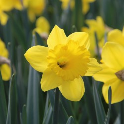 Narcissus 'Standard Value'