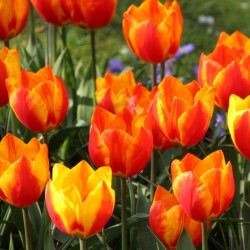 Tulipa 'Flair'
