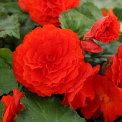 Begonia Non Stop oranje