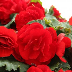 Begonia Non Stop rood