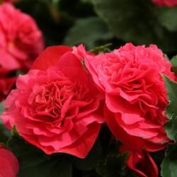 Begonia Non Stop roze