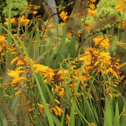 Crocosmia 'Yellow Emberglow'
