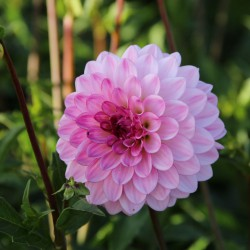 Dahlia 'Lenny's Dream'