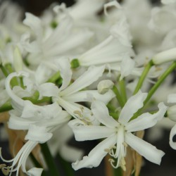 Nerine bowdenii 'Bianca Perla'