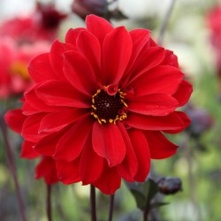 Dahlia 'Bishop of Llandaff'