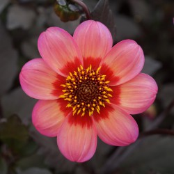 Dahlia 'Dahlegria Tricolore'