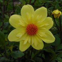 Dahlia 'Kelsey Sunshine'