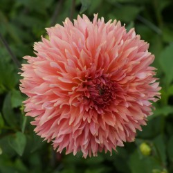 Dahlia 'Orange Fubuki'