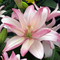 Lilium 'Bentley'