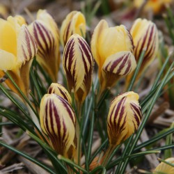 Crocus chrysanthus 'Gipsy...