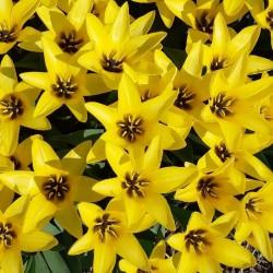 Tulipa 'Partitura'