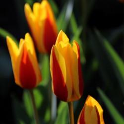 Tulipa 'Goudstuk'