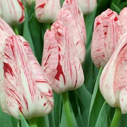 Tulipa 'Merel Delight'