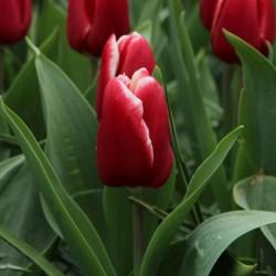 Tulipa 'Vampire'