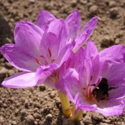 Colchicum bivonae 'Vesta'