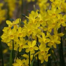 Narcissus jonquilla var....