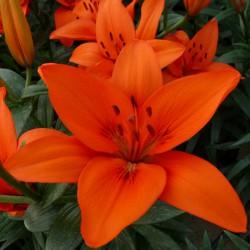 Lilium 'Orange Summer'