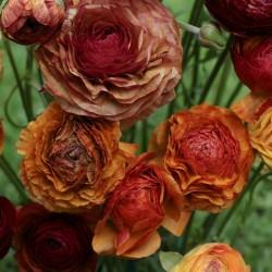Ranunculus asiaticus 'Aviv...