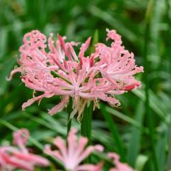 Nerine bowdenii 'Flugel'