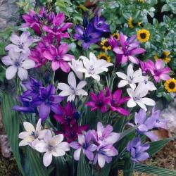 Babiana stricta 'Kew Hybriden'