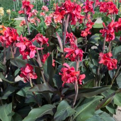 Canna 'Pink and Roses'