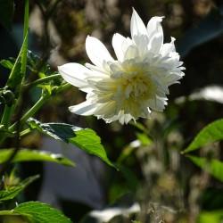 Dahlia imperialis -wit-