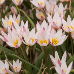 Tulipa cretica 'Hilde'