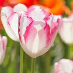 Tulipa 'Graceland'