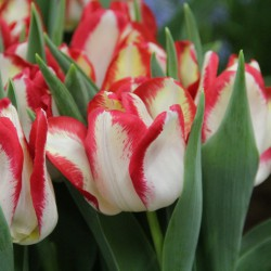 Tulipa 'Aquarel'