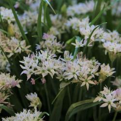Allium 'Cameleon'®