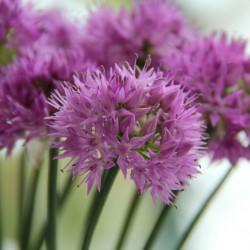 Allium carolinianum 'Rosy...