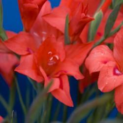 Gladiolus nanus 'Amanda Mahy'