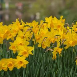 Narcis 'California' 100 stuks