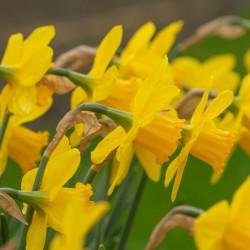 Narcissus 'California'