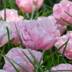 Tulipa 'Mariage'