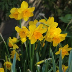 Narcissus 'Anfield'